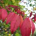 紅葉と赤い実 コマユミ(小檀弓) IMG_5053