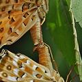 写真: タテハチョウ科 ツマグロヒョウモン♂♀