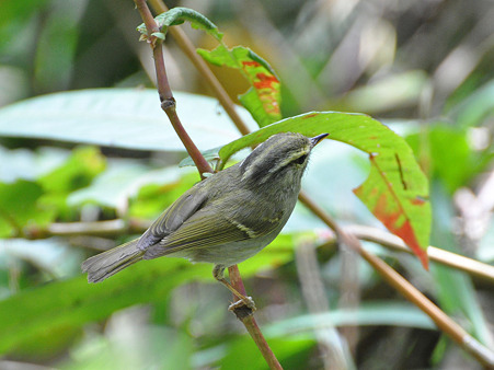 センダイムシクイ?(Eastern Crowned Warbler) DSC_0397_R