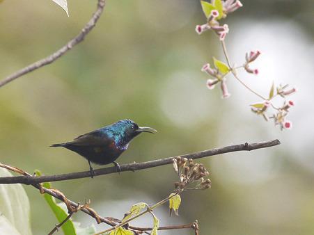 ムラサキタイヨウチョウ(Purple Sunbird) P1220604_R