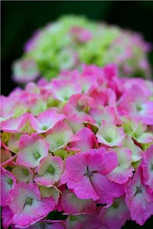 紫陽花〜ピンク〜