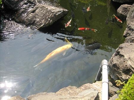 ひょうたん池の錦鯉
