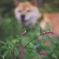 Photos: イヌタデ