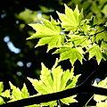 写真: 大きな木の下で(楓)