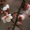 梅日記-花が少し増えました