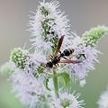 Photos: ミントに来た虫 アシナガバチ