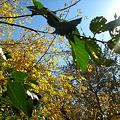 写真: leaves