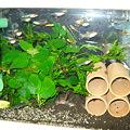 20100919 41cm水槽のエンドラーズ