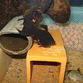 20110412 45cmプレコ水槽のメタボのブラックモーリー