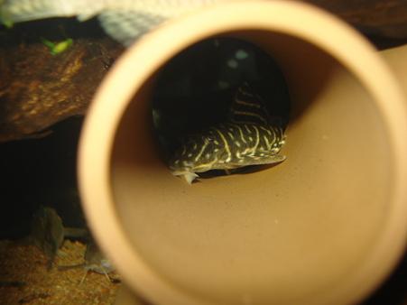 20110512 45cmプレコ水槽のオリノコゼブラ