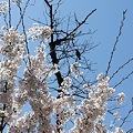 Photos: 多摩川沿いの桜19
