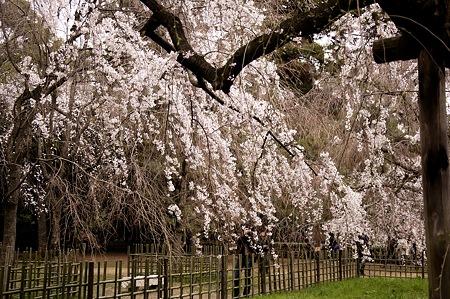 2011-04-02_京都御所_桜10