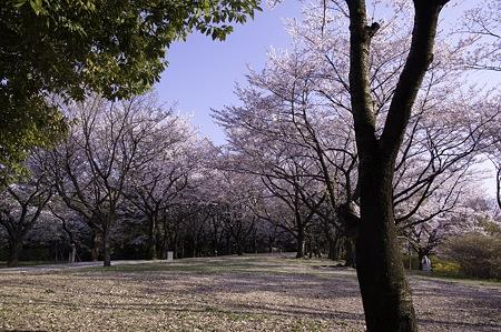 20110414昭和記念公園_桜18
