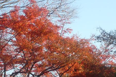 秋を惜しむもみじー1