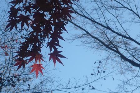 秋を惜しむもみじー5