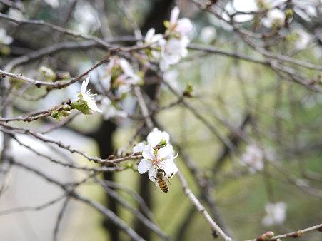 御荷鉾山の冬桜(去年の在庫から)