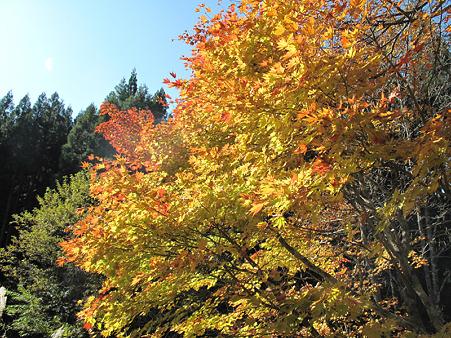 17大倉滝そばの紅葉1