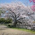 写真: 20110410_sakura1