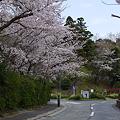 日野公園墓地の桜 その2