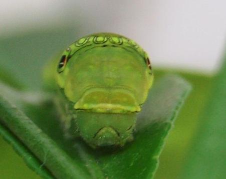 2010年08月27日アゲハ5齢幼虫
