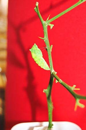 2011年09月10日_DSC_1176アゲハの蛹