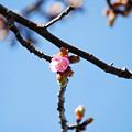 写真: ほころびはじめた寒緋桜6
