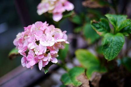 紫陽花が今頃咲いた