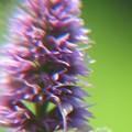 Photos: アニスヒソップの花拡大2