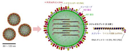 450px-Influenzavirus_structure