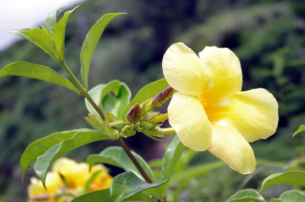 ゆうなの花