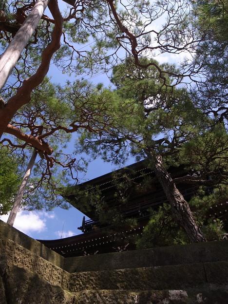 大雄寺の松