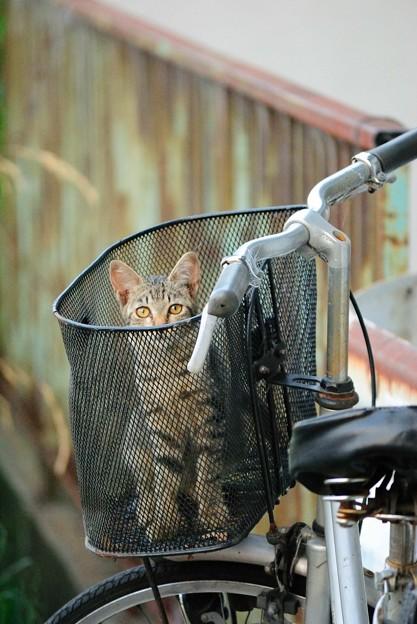 カゴに入った猫