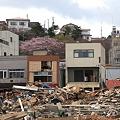 写真: 被災地に桜咲く
