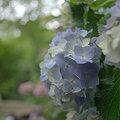 Photos: 長谷寺の紫陽花3