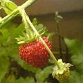 Photos: Wild strawberry