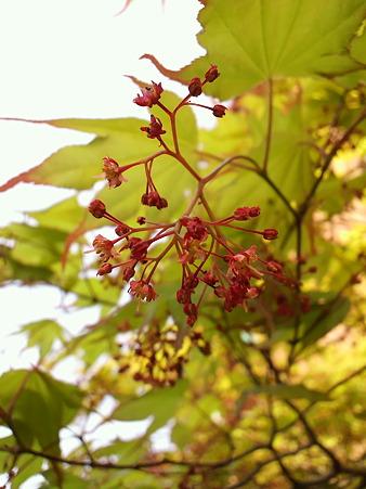 もみじの花1