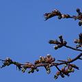 北の桜_5.19