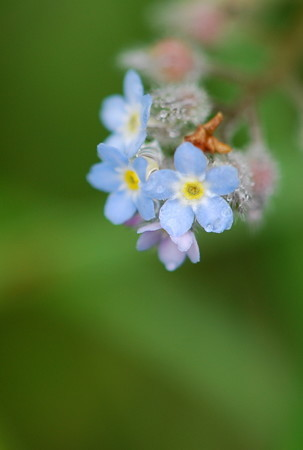 My Forget-me-not
