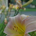 Daylilies at the Museum