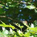 Autumn Meadowhawk 9-21-10