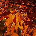 Maple in Orange 10-11-10