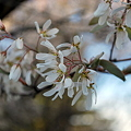 Downy Serviceberry 5-9-11