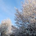 Downy Serviceberry Trees