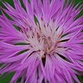 Photos: Centaurea 6-26-11