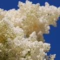 Japanese Tree Lilac 7-1-11