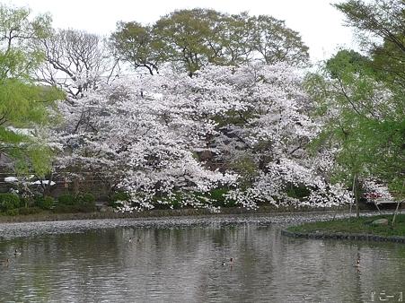 110411-鶴岡八幡宮 源平池 (7)