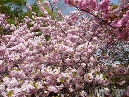 110417-造幣局 桜の通り抜け (84)