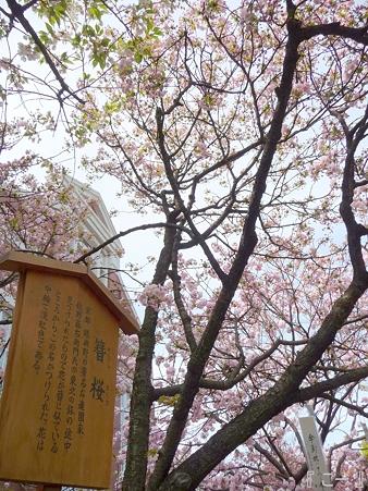 110417-造幣局 桜の通り抜け (96)