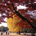 Photos: 紅葉とイチョウ
