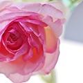 a pink lady.